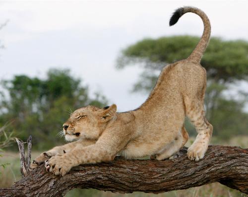animal-photography-lion